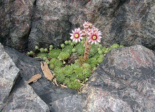 Kvetoucí netřesk v Šárce na Dívčím skoku.